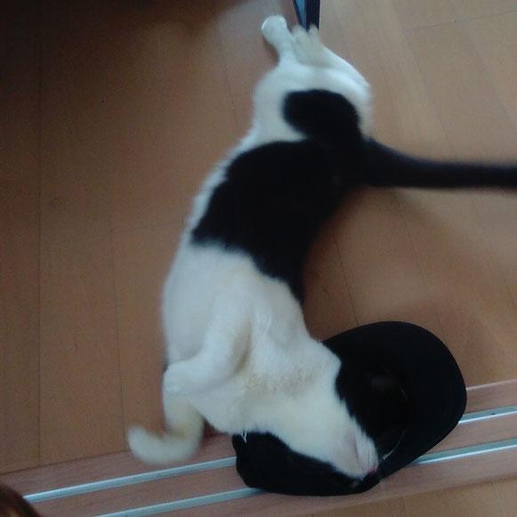 ジョニーくん 猫 ねこ ネコ にゃんこ 1歳男子 ペットシッター キャットシッター 大田区 川崎市