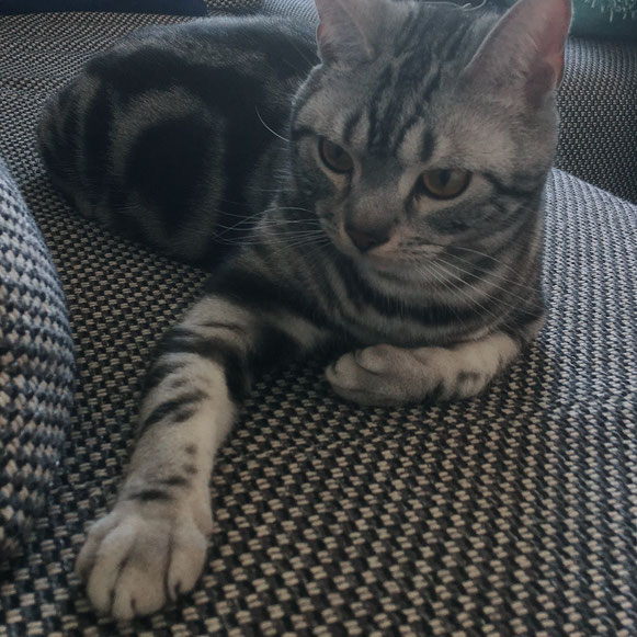 アメリカンショートヘア 猫 ネコ ねこ にゃんこ ニャンコ お留守番 大田区 川崎