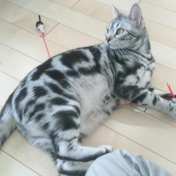 そうごろうくん アメリカンショートヘア 猫 ねこ ネコ にゃんこ ニャンコ お留守番 大田区 川崎