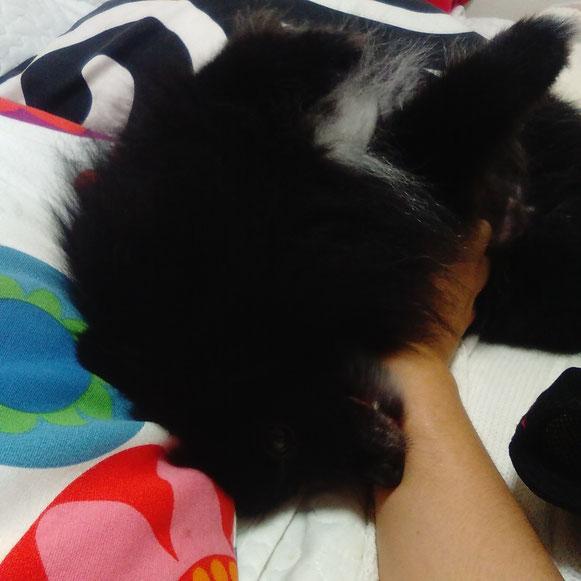 ボスくん ポメラニアン 黒ポメ 撫で撫で お留守番 大田区 ペットシッター 犬