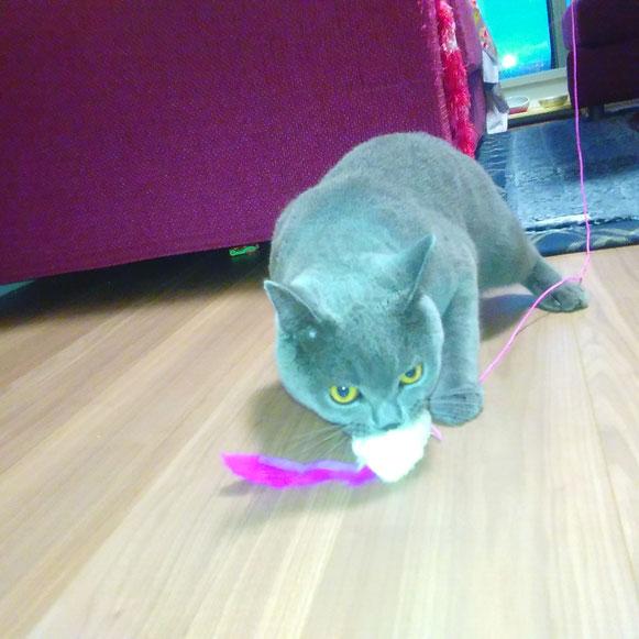大田区 ペットシッター ブリティッシュショートヘア 猫 ねこ ネコ にゃんこ おもちゃ お留守番 川崎