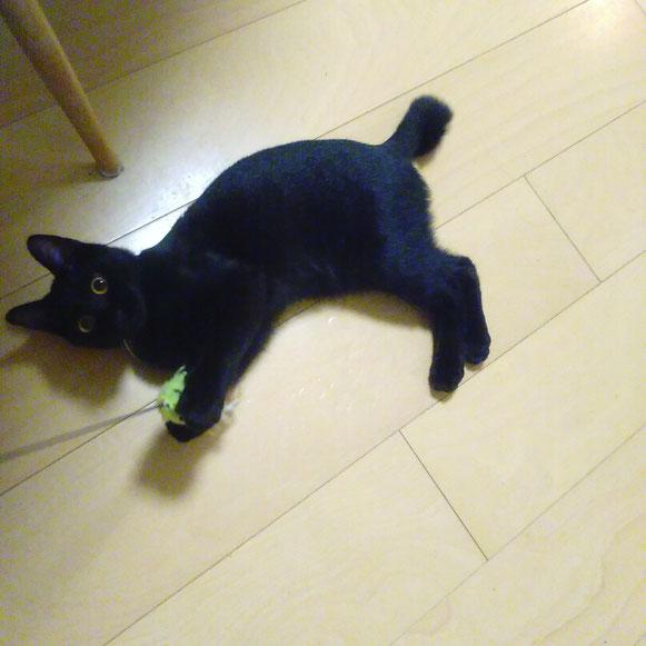 タマゴちゃん 仔猫ちゃん 子猫ちゃん 黒猫 ねこ にゃんこ ネコ 猫 ペットシッター シッティング中 大田区