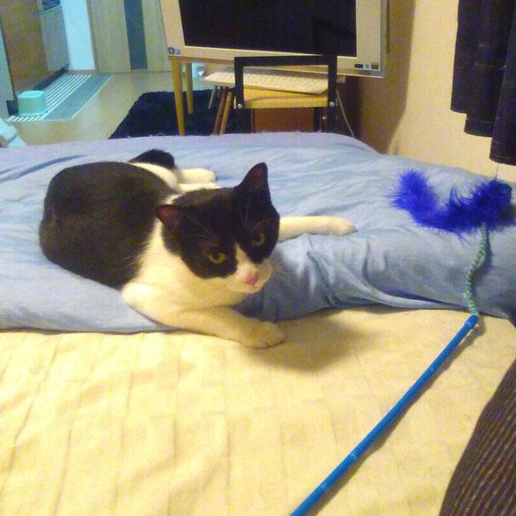 ジョニーくん 猫 ねこ ネコ にゃんこ おもちゃ遊び 1歳男子 ペットシッター キャットシッター 大田区