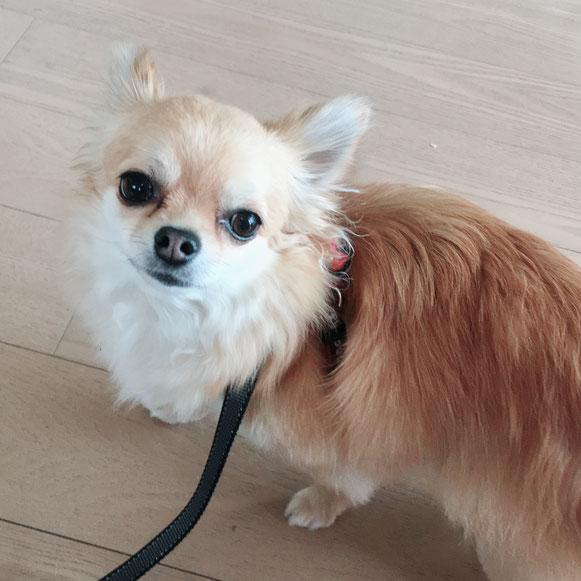 チワワ お散歩準備 お留守番 ペットシッター ドッグシッター 大田区 川崎 犬 いぬ イヌ わんこ ワンコ