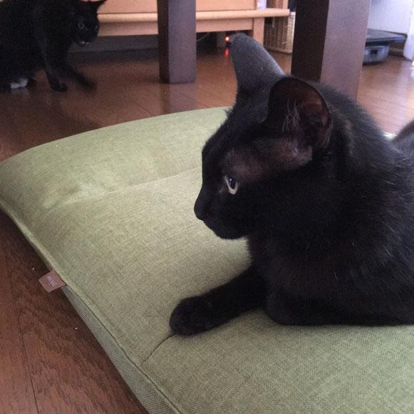 にいちゃん おとうとくん 黒猫 兄弟 ペットシッター キャットシッタ― お留守番 大田区 川崎