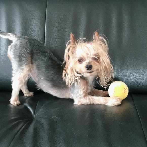 ヨーキー ヨークシャーテリア 室内遊び ペットシッター ドッグシッター 大田区 川崎 わんこ ワンコ 犬 いぬ イヌ