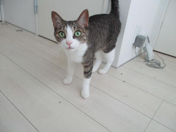 バジルちゃん 甘えん坊 猫ちゃん にゃんこちゃん ネコ ねこ ペットシッター