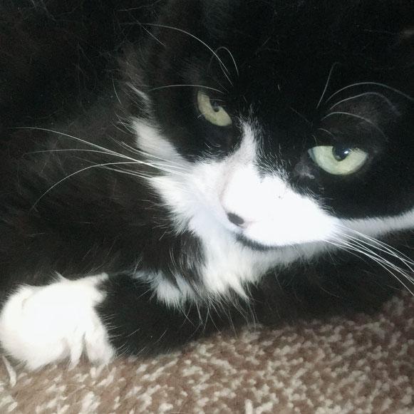 そうじろう スコティッシュフォールド 猫 ネコ ねこ にゃんこ ニャンコ お留守番 大田区 川崎