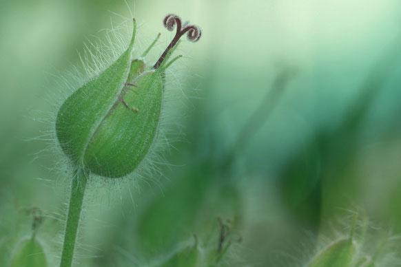 grüne Knospe, zart, die gerade dabei ist, ihre Blätter zu entfalten