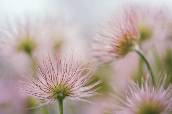 Zarte rosa Blumen auf Feld, verschwommen und weich. Hintergrund blass rosa.