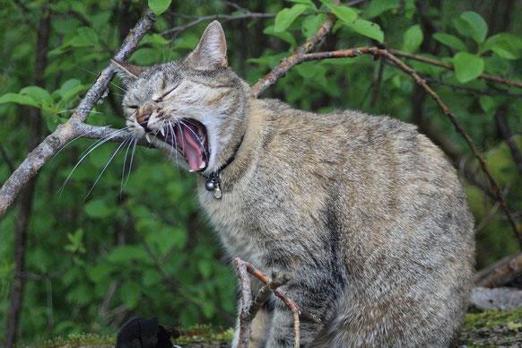 Fauchende Katze im Wald, gestresst
