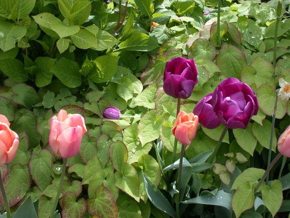 Bild: blühende Tulpen mit Epimedium