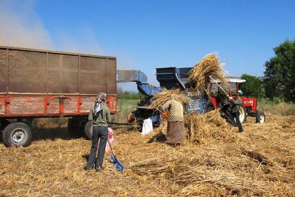 Kasabamızda Arpa ve Buğday ın hasat zamanı başladı. 2010