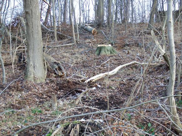Forstwirtschaft Niedersachsen, Foto BI Baumschutz Hildesheim