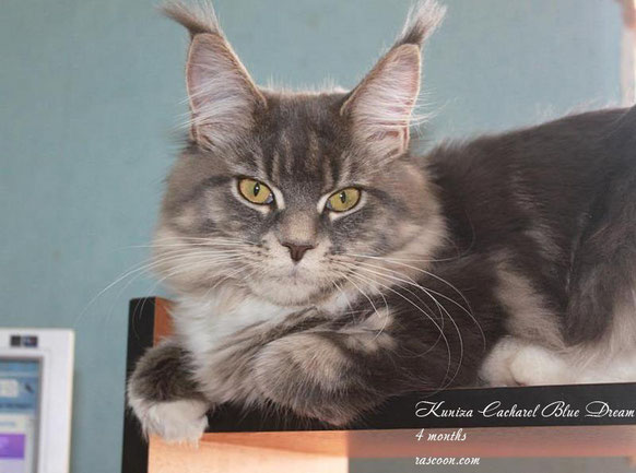 Kuniza Cacharel Blue Dream 4 months