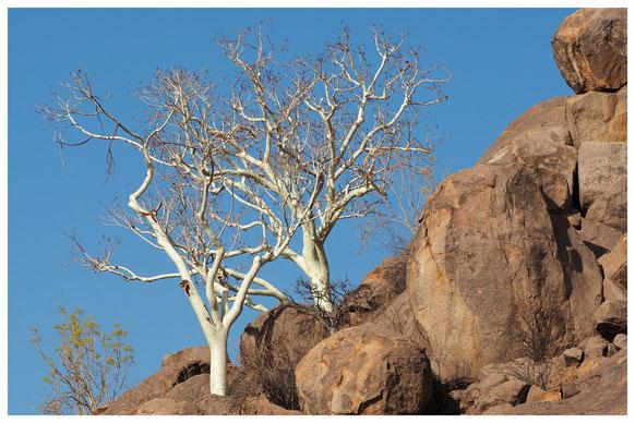 Sterculia de Namibie