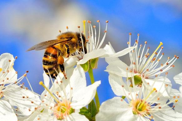 Biene auf Schlehdornblüte