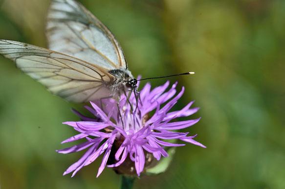 _JPM1596-Le Gazé-Piéride de l'aubépine-Aporia crataegi-Pieridae