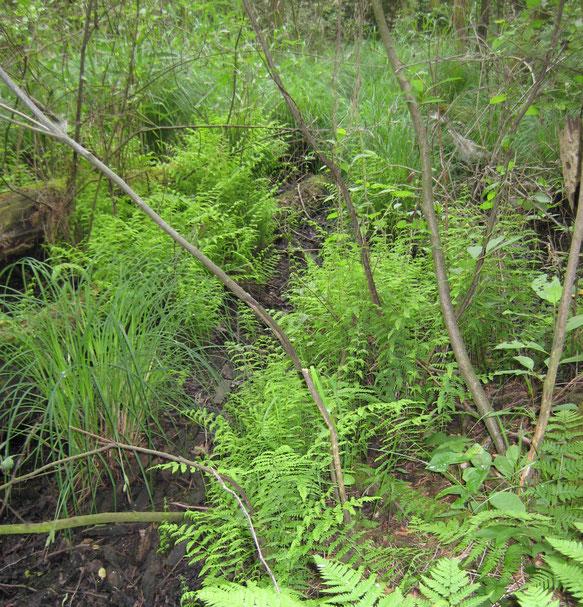 Typisch Elzenbroekbos, Vergeten Hoek, Moerasvaren, Stijve zegge, Carex elata, Carici elongatae-Alnetum typicum.