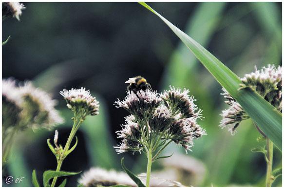 Der Wasserdost, Anziehungspunkt für viele Insekten; Hier eine Hummel
