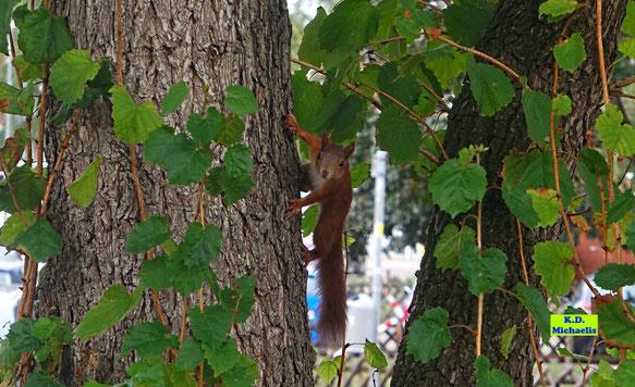 Gartenkobold Eichhörnchen bei der Futtersuche in einer Baumhasel von K.D. Michaelis