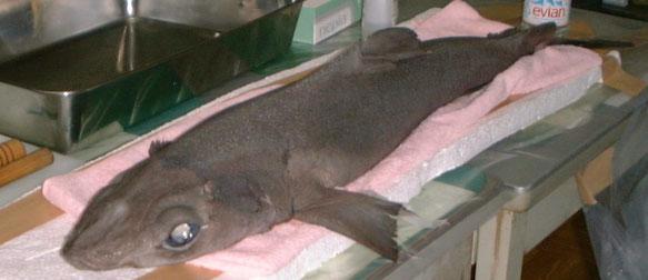 相模湾の深海にすむアイザメ