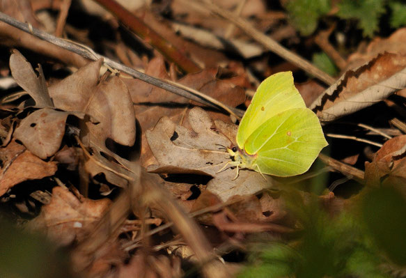 _DSC8254_Papillon citron-Gonepteryx rhamni_Pieridae