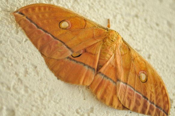DSC_8292_Le bombyx du prunier-Odenostis pruni-LasiocampiDSC_8292_Grand paon de nuit-Saturnia pyri-Saturniidaedae Gastropachinae-??