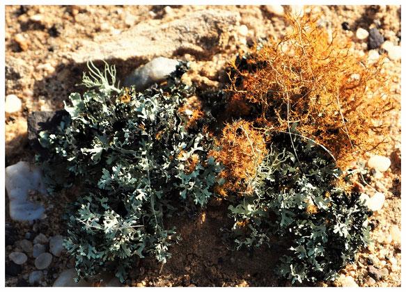 Lichen foliacé de Namibie