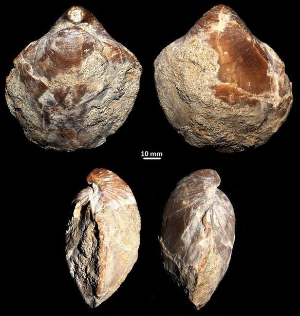 Terebratula terebratula, località Acquabianca, Chiusi-Chianciano Terme (GR), Pliocene