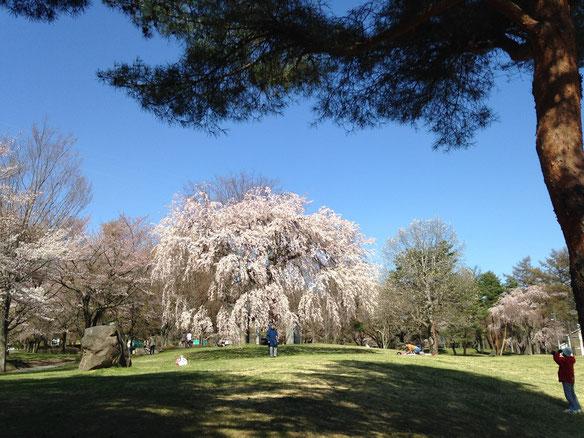 しだれ桜が見頃。普段よりお散歩の人も多め。
