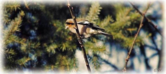 Der Buchfink (Männchen)