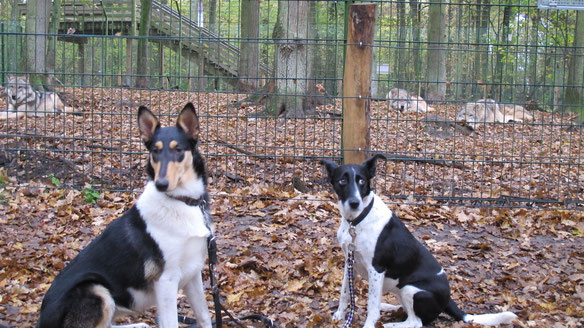 Hunde,Wolf, Wolfcenter Dörverden, Hundeschule Janina Hoch 2