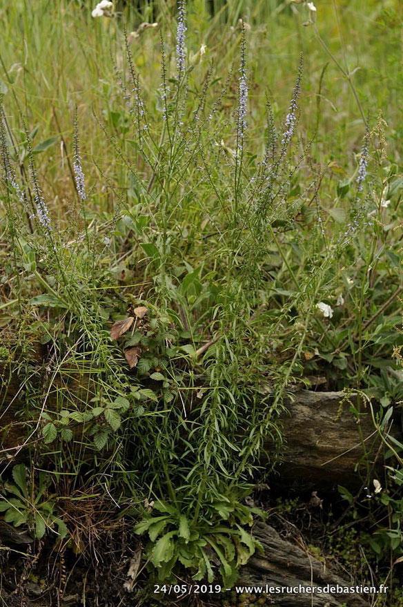 Anarrhinum bellidifolium, Cévennes