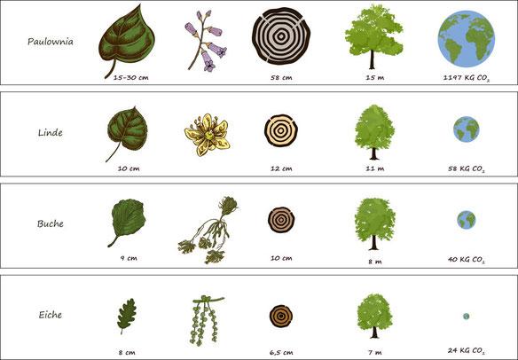 Paulownia CO2 Klimabaum