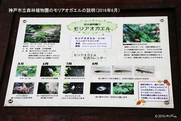 モリアオガエルの説明(神戸市立森林植物園)