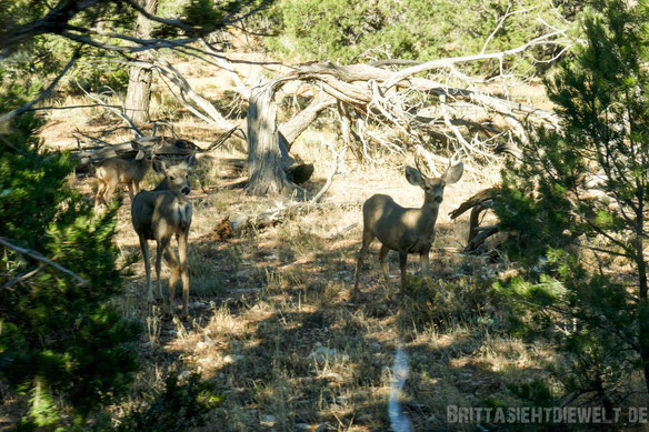 grand,canyon,southrim,deer,rehe,,britta,lieder,arizona,colorado,tipps