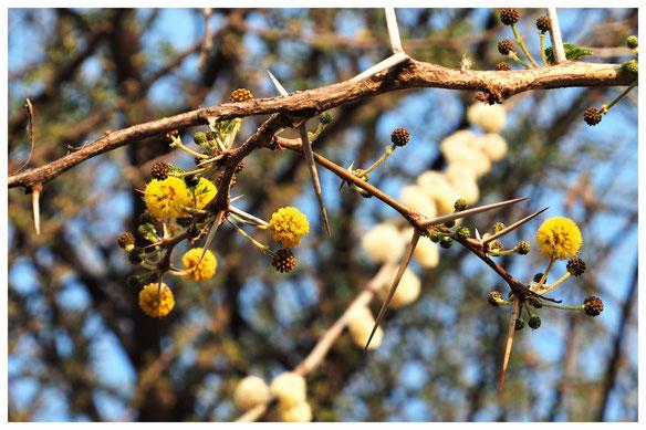 Acacia karroo de Namibie