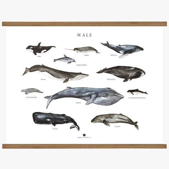 Wale, Wallehrtafel, Vogellehrtafel, Vogelillustration, Vogelzeichnung, Vintage, Poster
