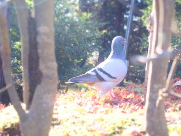 はっきり写ってるのもあったけど、敢えて幻想的な方の鳩を。この子、このあと、パン屑をもらいに行きました。