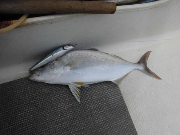 トップウォータープラグで釣れたネリゴ