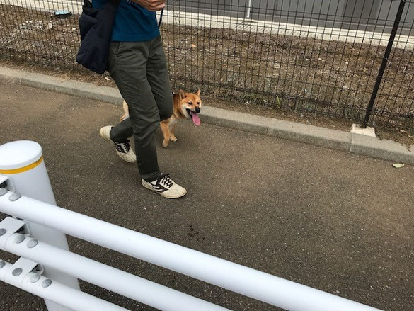 柴犬お散歩