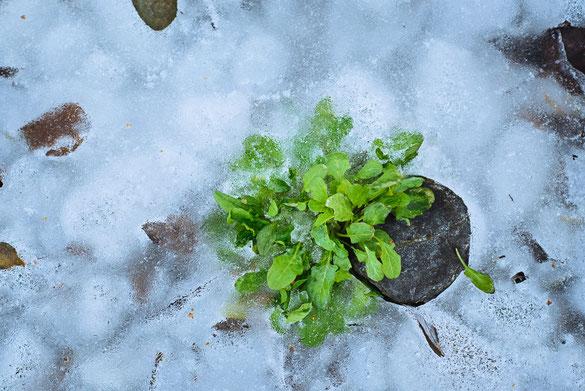 Pflanze  ·  Eis