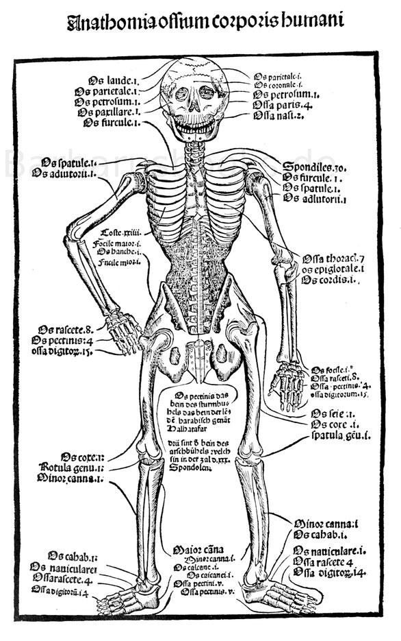 Grüningers Skelett mit dem schwarzen Bauch vom Jahr 1497.