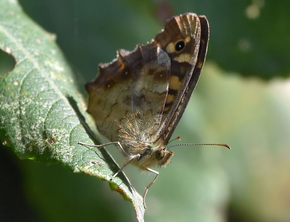 Southern Speckled Wood Butterfly