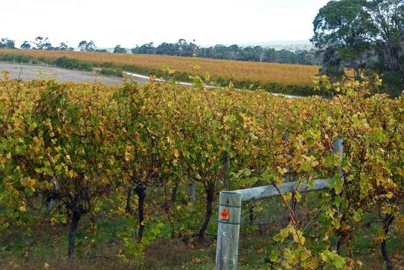 Vineyard near the Berry Farm, Rosa Glen