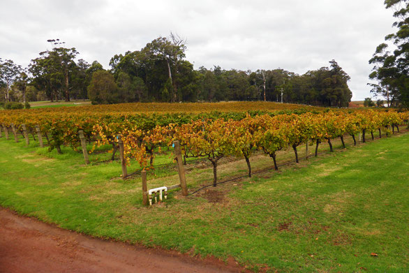 Leeuwin Estate vineyard, Witchcliffe