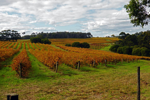 Vineyard near Leeuwin Estate, Witchcliffe