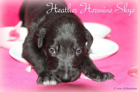 Hübsche Deerhound-Welpen-2 Wochen alt/Rassehundezucht von Alshamina züchtet Barsois und Scottish Deerhounds mit FCI Ahnentafel!