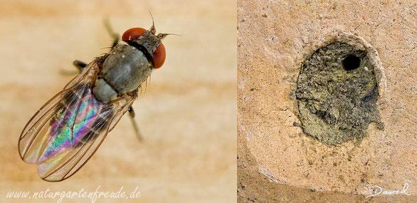 Parasit Taufliege Cacoxenus indagator Loch im Deckel durchbohrter Verschlußdeckel  insect nesting aid insect hotel  parasite cleptoparasite fruit fly